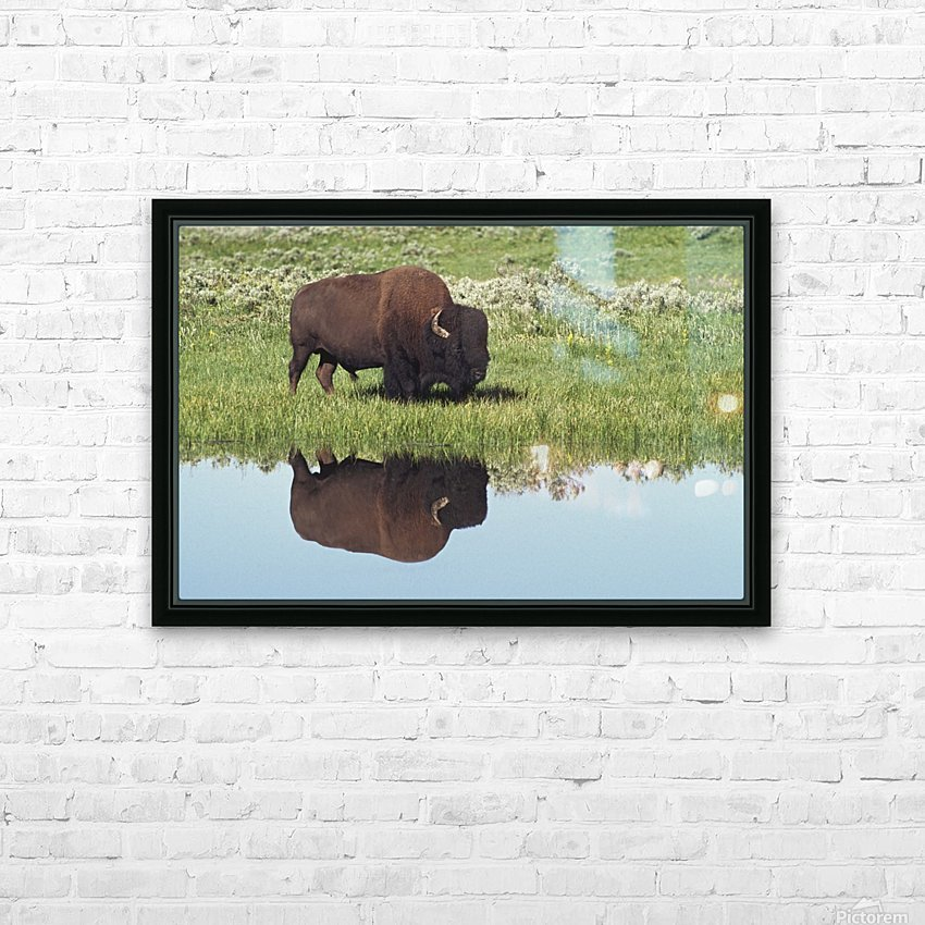 Bison (Bison Bison) On Grassy Meadow With Reflection In Pool HD Sublimation Metal print with Decorating Float Frame (BOX)