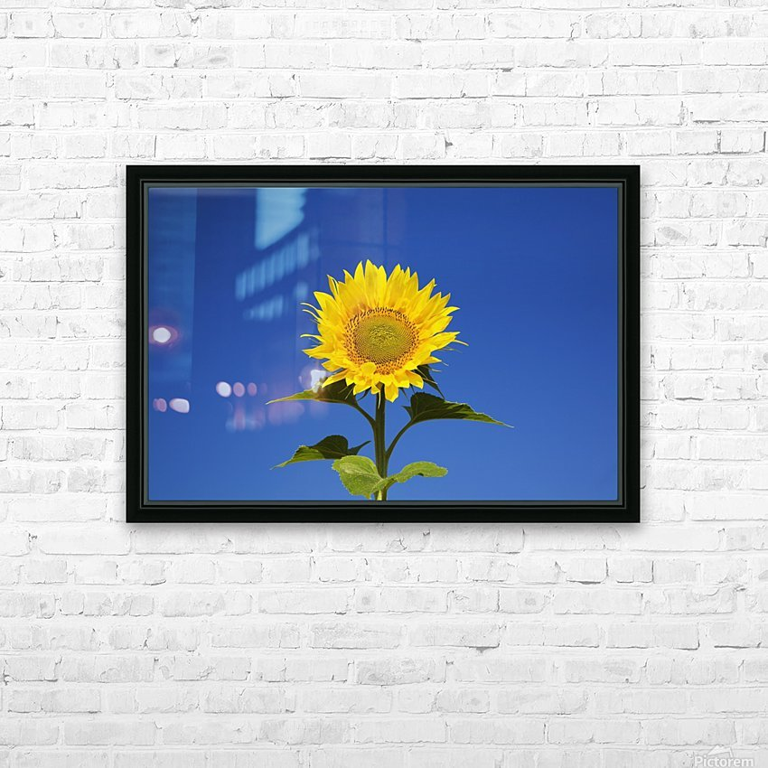 Laval, Quebec, Canada; Sunflower (Helianthus Annuus) Against A Blue Sky HD Sublimation Metal print with Decorating Float Frame (BOX)