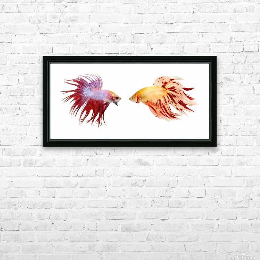 Two Colorful Fish With Long Fins HD Sublimation Metal print with Decorating Float Frame (BOX)