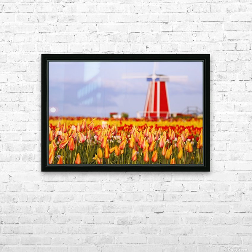 Woodburn, Oregon, United States Of America; A Field Of Tulips And A Windmill At Wooden Shoe Tulip Farm HD Sublimation Metal print with Decorating Float Frame (BOX)