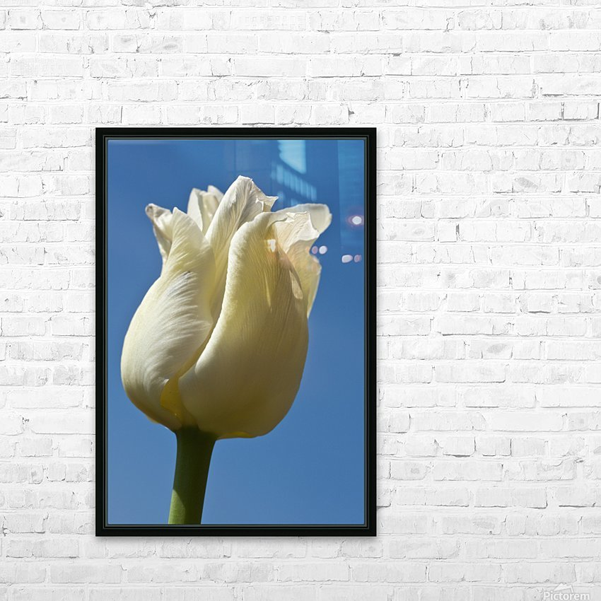 A White Tulip Against A Blue Sky; Northumberland, England HD Sublimation Metal print with Decorating Float Frame (BOX)