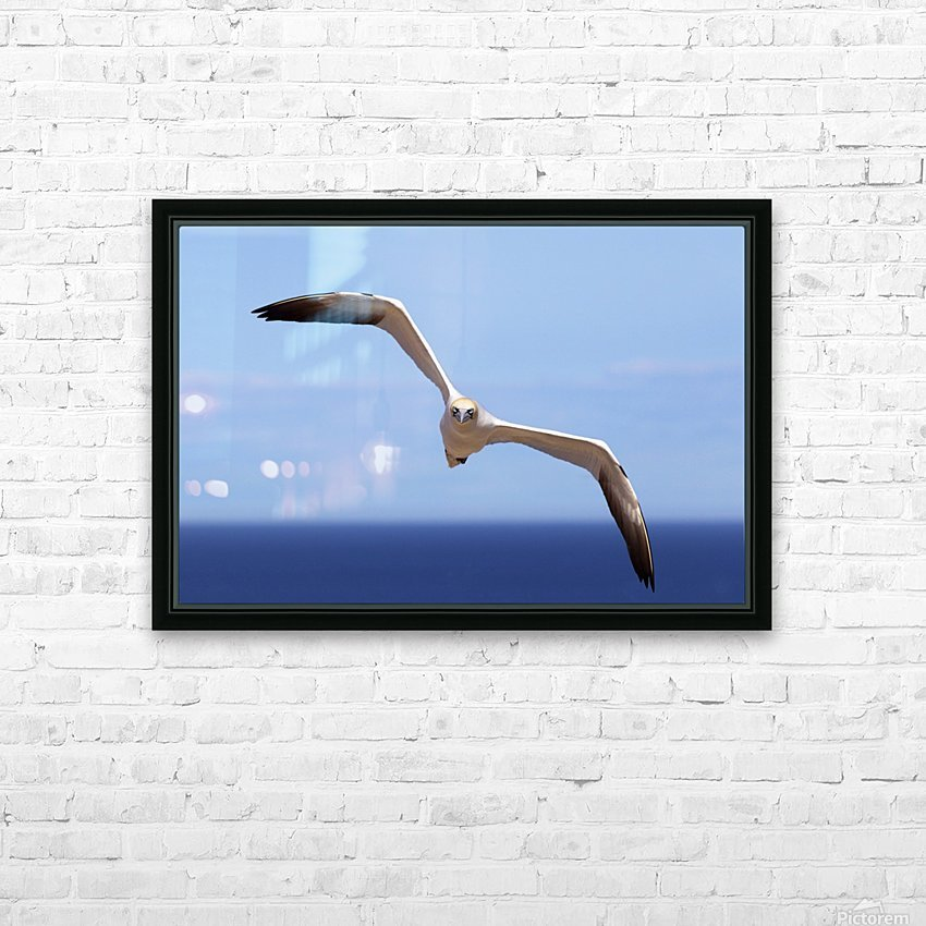 Gannet Flying Over The Water; Perce, Quebec, Canada HD Sublimation Metal print with Decorating Float Frame (BOX)