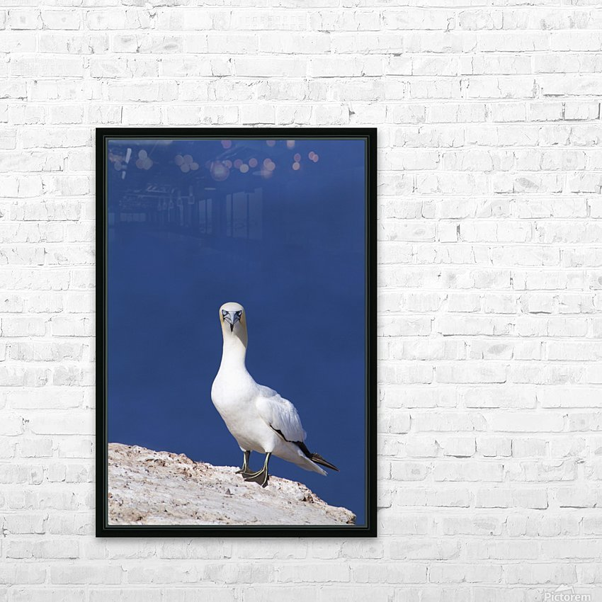 Gannet With An Attitude Staring At The Camera; Perce, Quebec, Canada HD Sublimation Metal print with Decorating Float Frame (BOX)