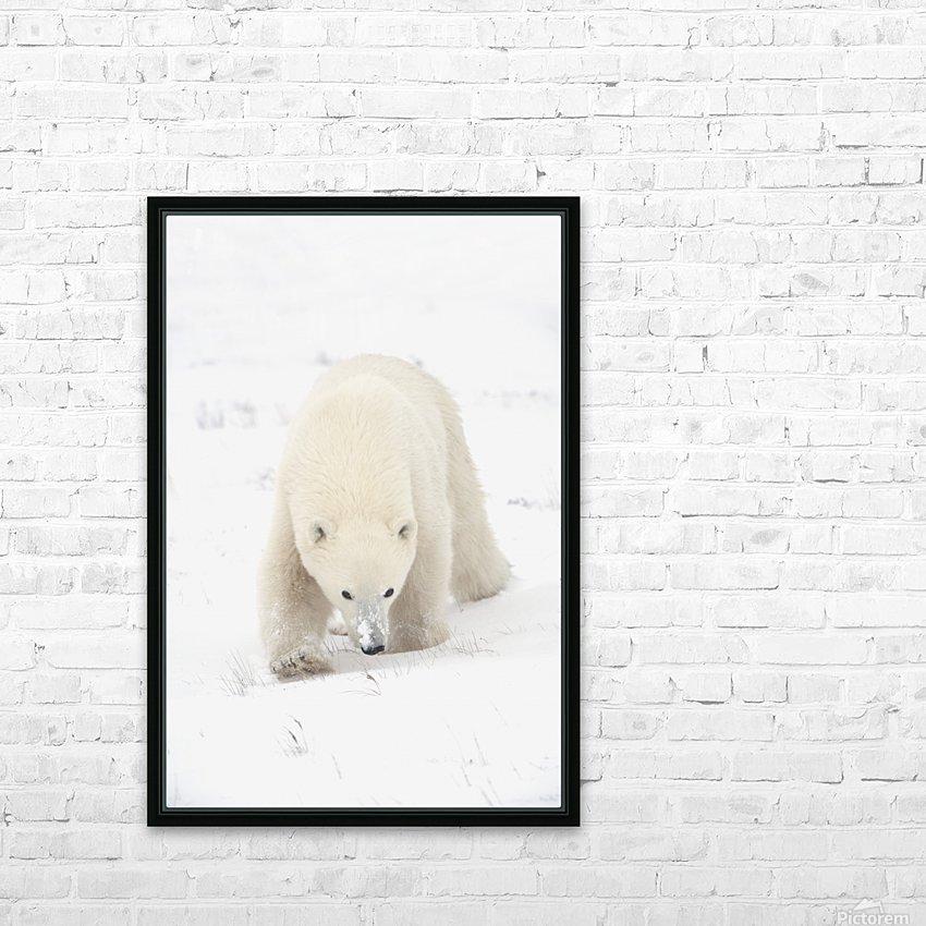 Curious Young Polar Bear (Ursus Maritimus) Exploring; Churchill, Manitoba, Canada HD Sublimation Metal print with Decorating Float Frame (BOX)