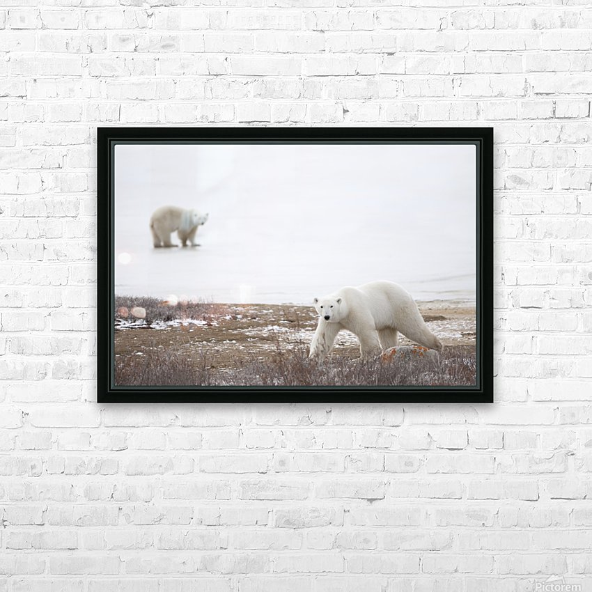 Polar Bears (Ursus Maritimus) Staring Ahead As They Walk Across The Frozen Tundra; Churchill, Manitoba, Canada HD Sublimation Metal print with Decorating Float Frame (BOX)
