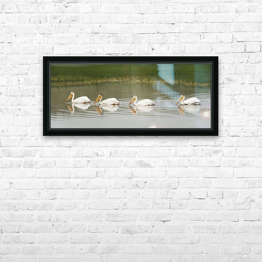 American White Pelicans Swim In A Line On The Yellowstone River; Wyoming, Usa HD Sublimation Metal print with Decorating Float Frame (BOX)