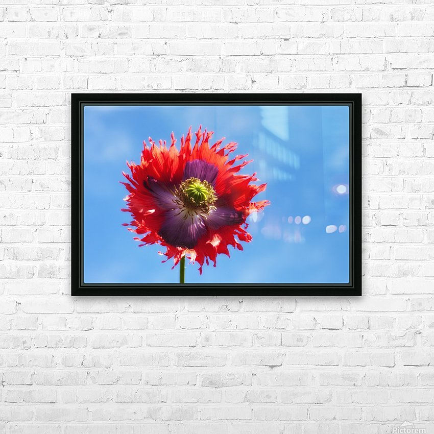 A Colorful Flower With Red And Purple Petals Against A Blue Sky; Northumberland, England HD Sublimation Metal print with Decorating Float Frame (BOX)