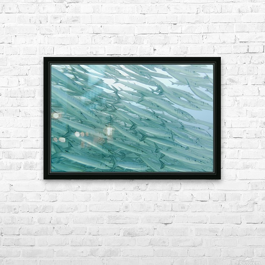 A School Of Barracudas Swimming Underwater; Galapagos, Equador HD Sublimation Metal print with Decorating Float Frame (BOX)