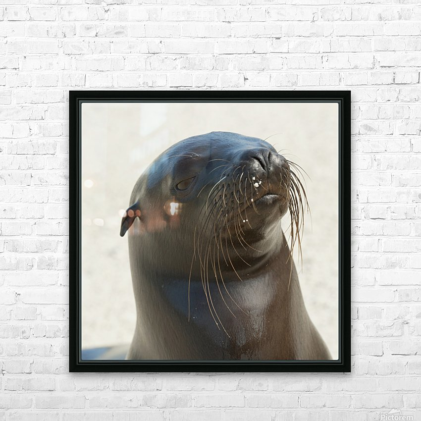 Sea Lion; Galapagos, Equador HD Sublimation Metal print with Decorating Float Frame (BOX)