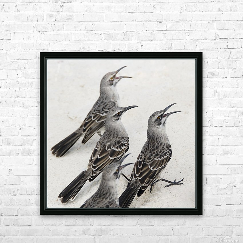 Mockingbirds (Mimidae); Galapagos, Equador HD Sublimation Metal print with Decorating Float Frame (BOX)