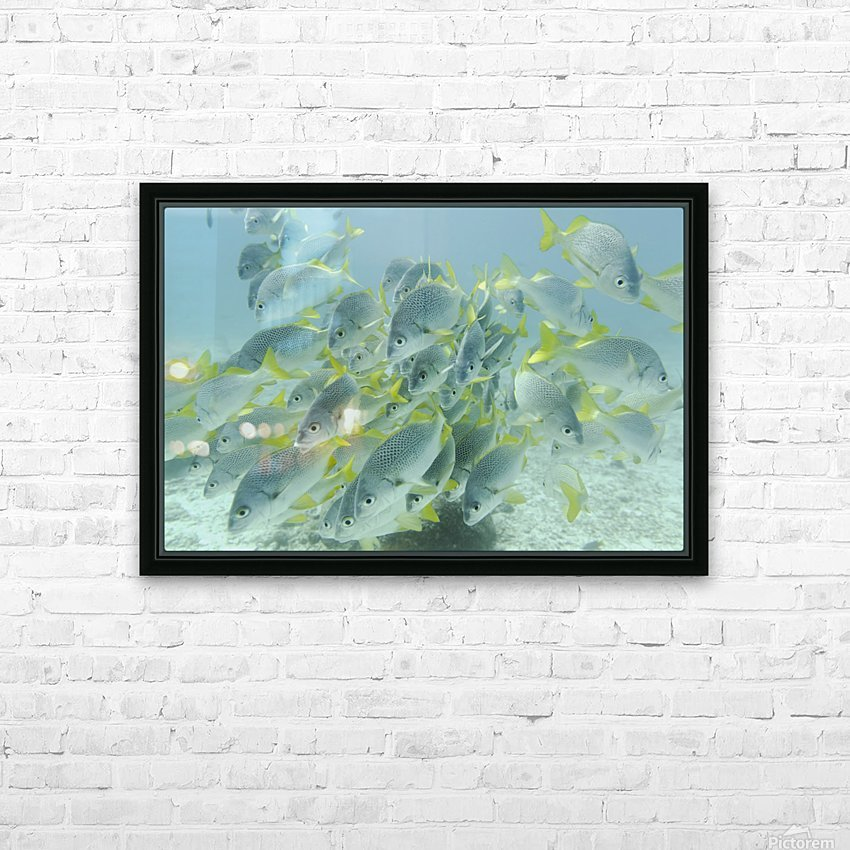 Yellow-Tailed Grunt Fish (Anisotremus Interruptus); Galapagos, Equador HD Sublimation Metal print with Decorating Float Frame (BOX)