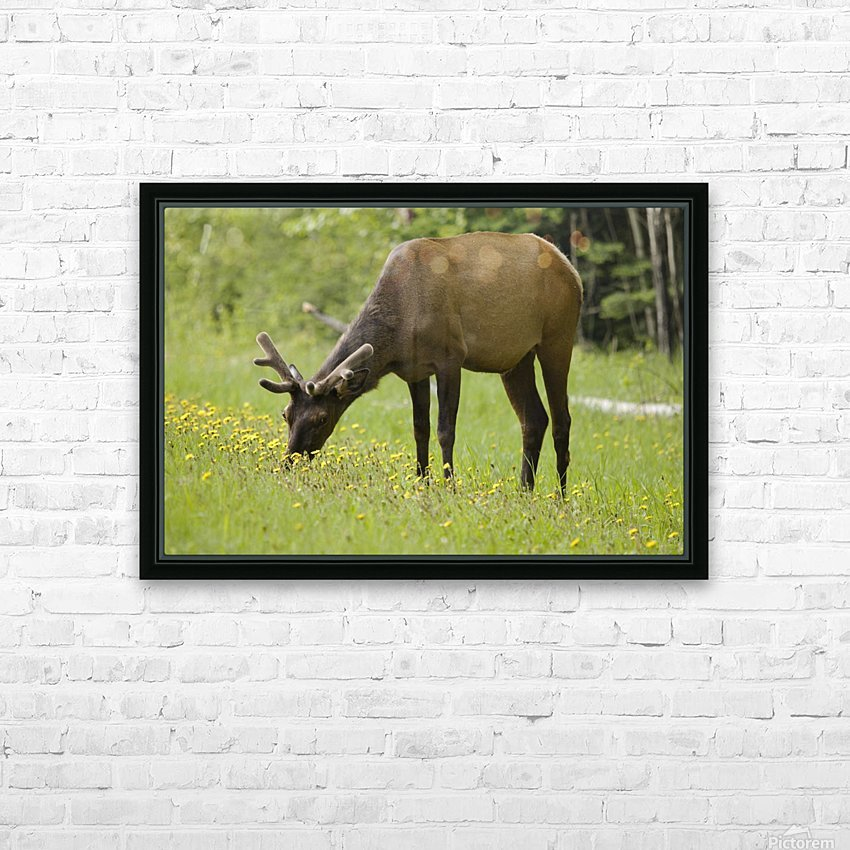 Elk (Cervus Canadensis) Grazing On Wildflowers In Prince Albert National Park; Saskatchewan, Canada HD Sublimation Metal print with Decorating Float Frame (BOX)