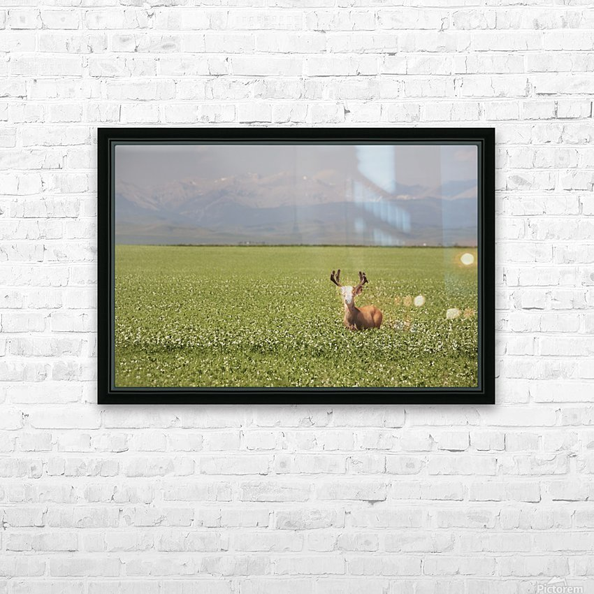 Male Deer With Antlers In A Flowering Pea Field With Mountains And Foothills In The Background; Alberta, Canada HD Sublimation Metal print with Decorating Float Frame (BOX)
