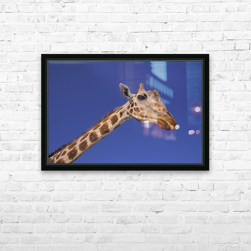 Masai Giraffe, Serengeti, Africa HD Sublimation Metal print with Decorating Float Frame (BOX)