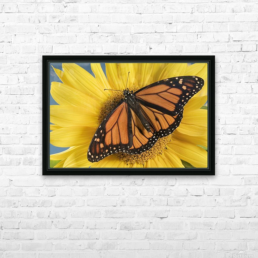 Monarch Butterfly On Sunflower. HD Sublimation Metal print with Decorating Float Frame (BOX)