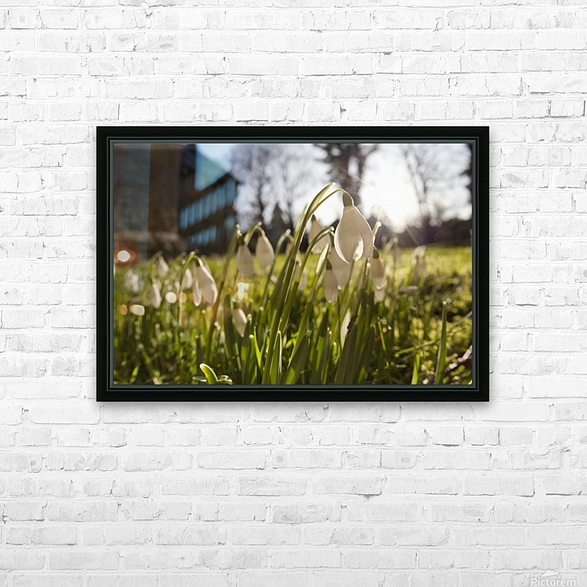 Snowdrop Flowers In The Sunlight; Northumberland, England HD Sublimation Metal print with Decorating Float Frame (BOX)