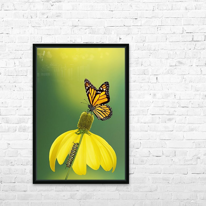 Caterpillar to butterfly;British columbia canada HD Sublimation Metal print with Decorating Float Frame (BOX)