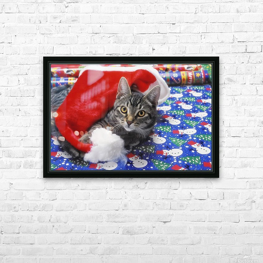 Grey tabby cat with santa claus hat lying on christmas gift wrap;Vancouver british columbia canada HD Sublimation Metal print with Decorating Float Frame (BOX)