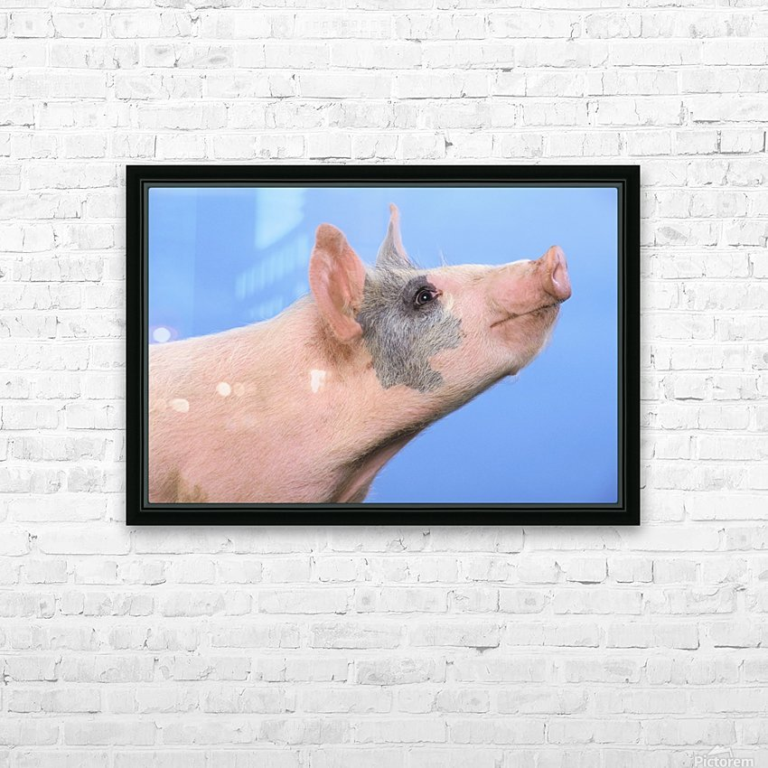 Pig with a blue background;British columbia canada HD Sublimation Metal print with Decorating Float Frame (BOX)