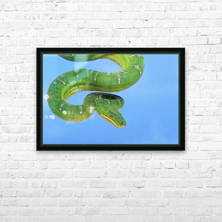 Emerald tree boa (corallus caninus) on a blue background;British columbia canada HD Sublimation Metal print with Decorating Float Frame (BOX)