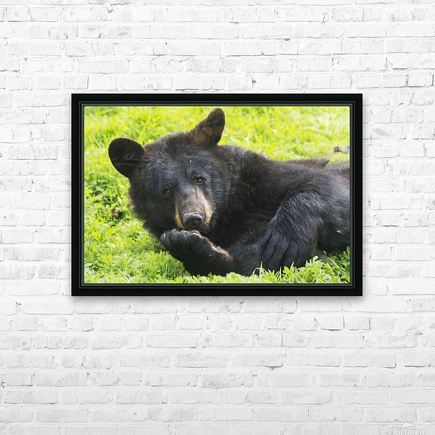 A black bear rolls around in the lush green grass HD Sublimation Metal print with Decorating Float Frame (BOX)