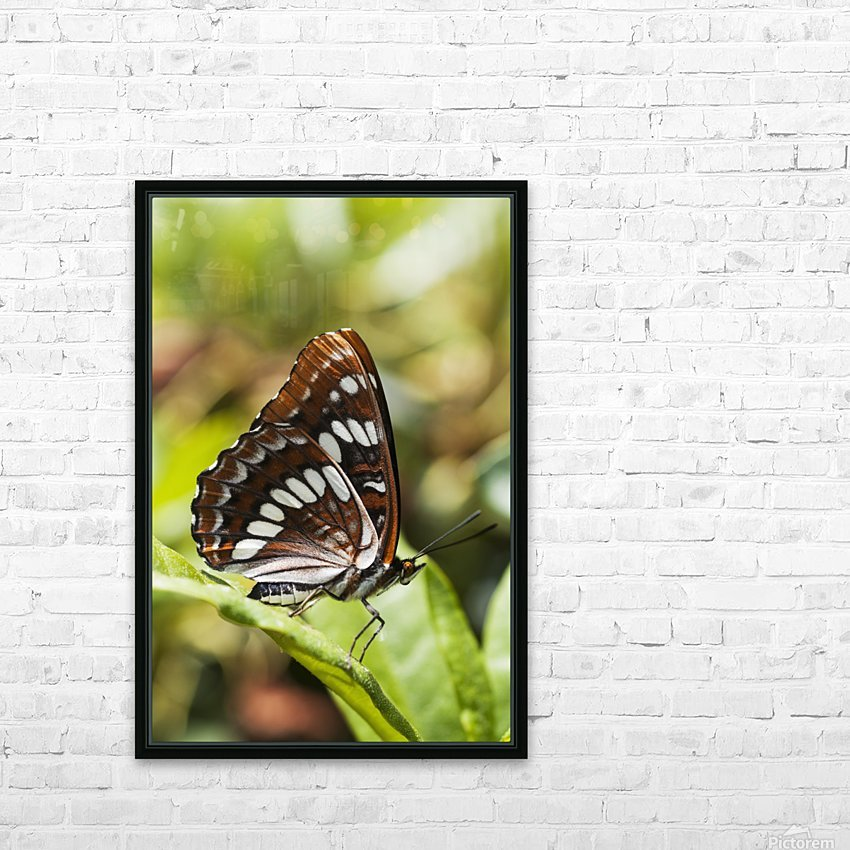 A White Admiral Butterfly (Limenitis arthemis) rests on a leaf; Astoria, Oregon, United States of America HD Sublimation Metal print with Decorating Float Frame (BOX)