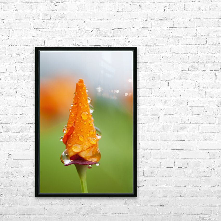 California poppy (Eschscholzia californica) remains closed in the rain; Astoria, Oregon, United States of America HD Sublimation Metal print with Decorating Float Frame (BOX)