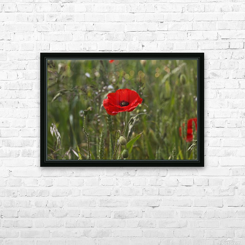 Close up of a red poppy blossoming; Northumberland, England HD Sublimation Metal print with Decorating Float Frame (BOX)