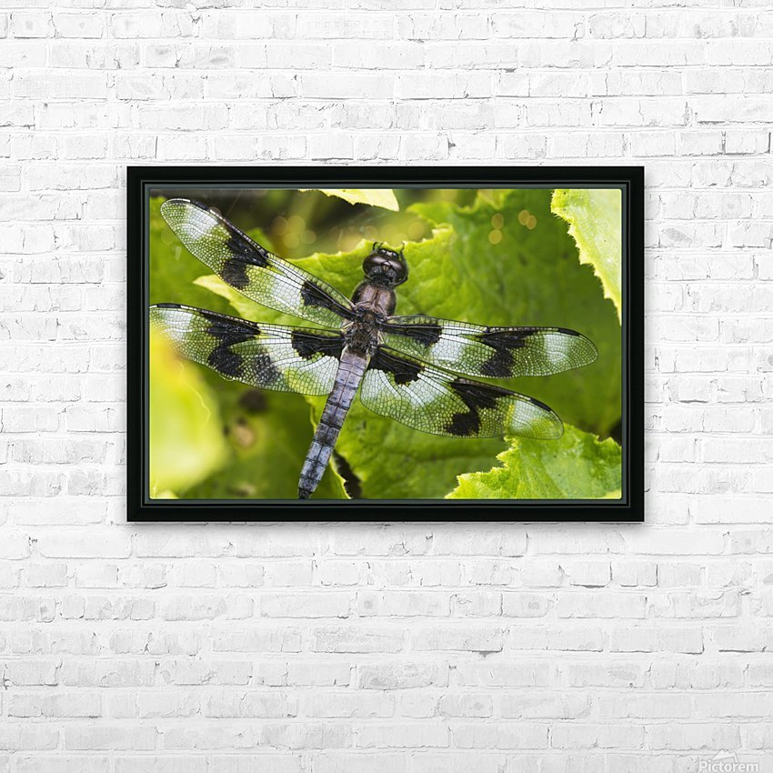 A dragonfly warms up in a vegetable garden; Astoria, Oregon, United States of America HD Sublimation Metal print with Decorating Float Frame (BOX)