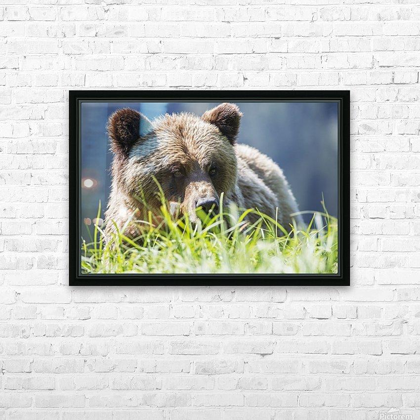 Grizzly Bear (Ursus Arctos Horribilis), Khutzymateen Sanctuary, near Prince Rupert; British Columbia, Canada HD Sublimation Metal print with Decorating Float Frame (BOX)