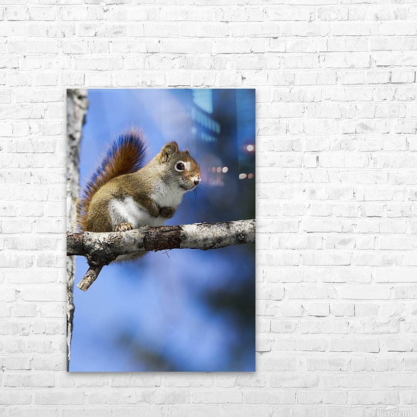 Eastern grey squirrel (Sciurus carolinensis) perched on a branch; Quebec, Canada HD Sublimation Metal print with Decorating Float Frame (BOX)