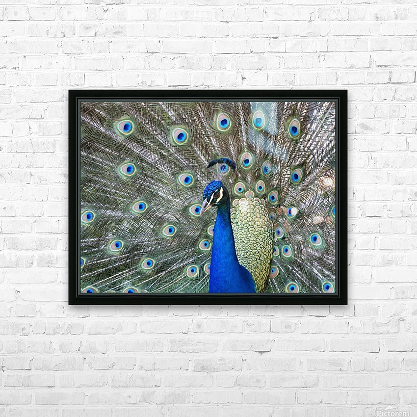 Peacock in full display mode attempting to attract a mate; Santa Cruz, Bolivia HD Sublimation Metal print with Decorating Float Frame (BOX)