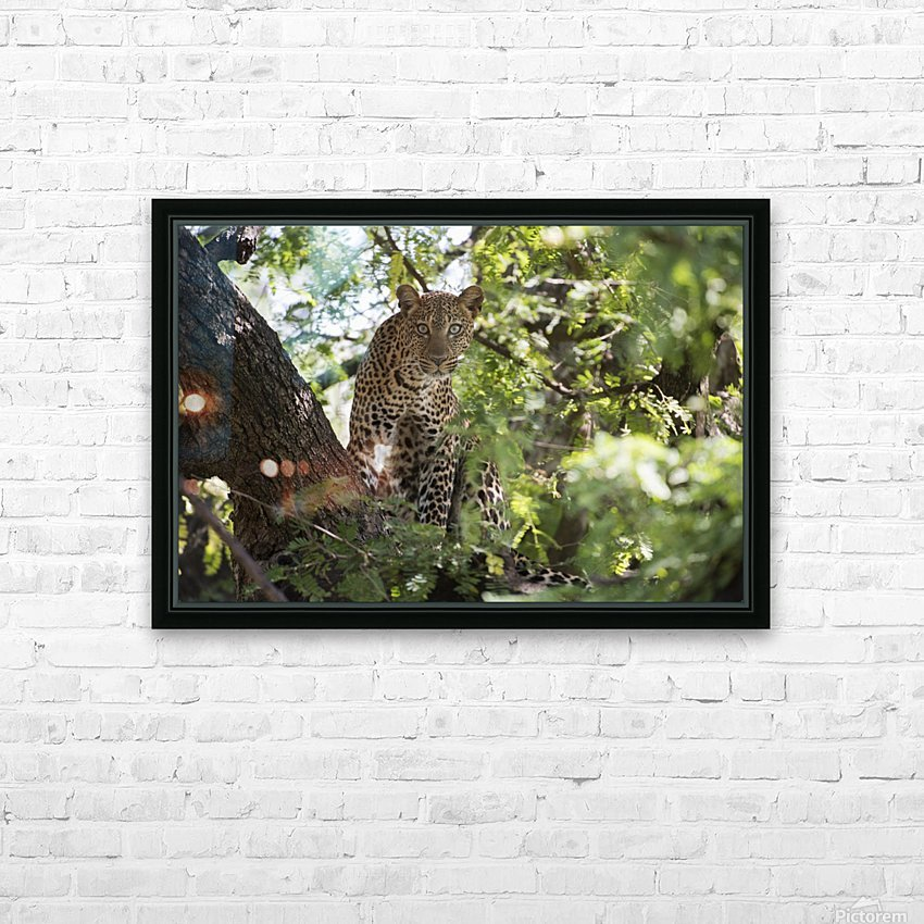 Leopard staring from tree in Lake Manyara National Park; Tanzania HD Sublimation Metal print with Decorating Float Frame (BOX)