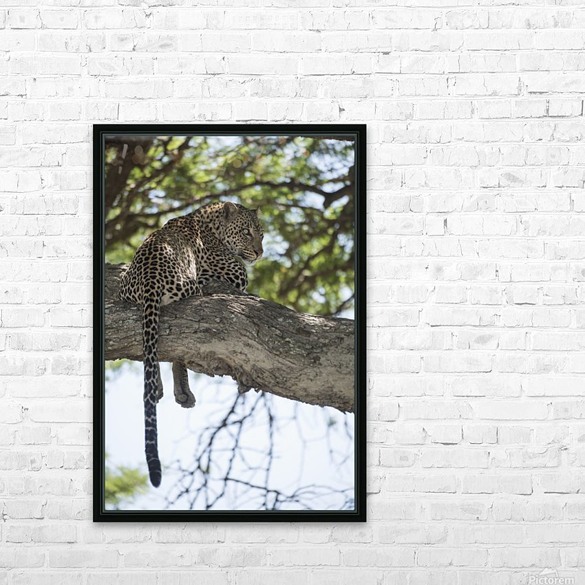 Leopard resting in tree near Ndutu, Ngorongoro Crater Conservation Area; Tanzania HD Sublimation Metal print with Decorating Float Frame (BOX)