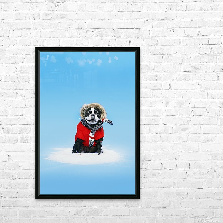 French bull terrier wearing jacket on blue background; Toronto, Ontario, Canada HD Sublimation Metal print with Decorating Float Frame (BOX)