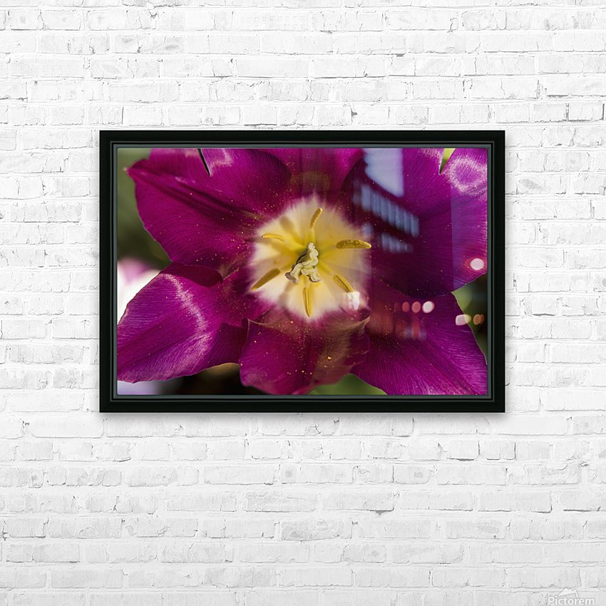 Red tulip, Andre Rieu (tulipa), New York Botanical Garden; New York City, New York, United States of America HD Sublimation Metal print with Decorating Float Frame (BOX)