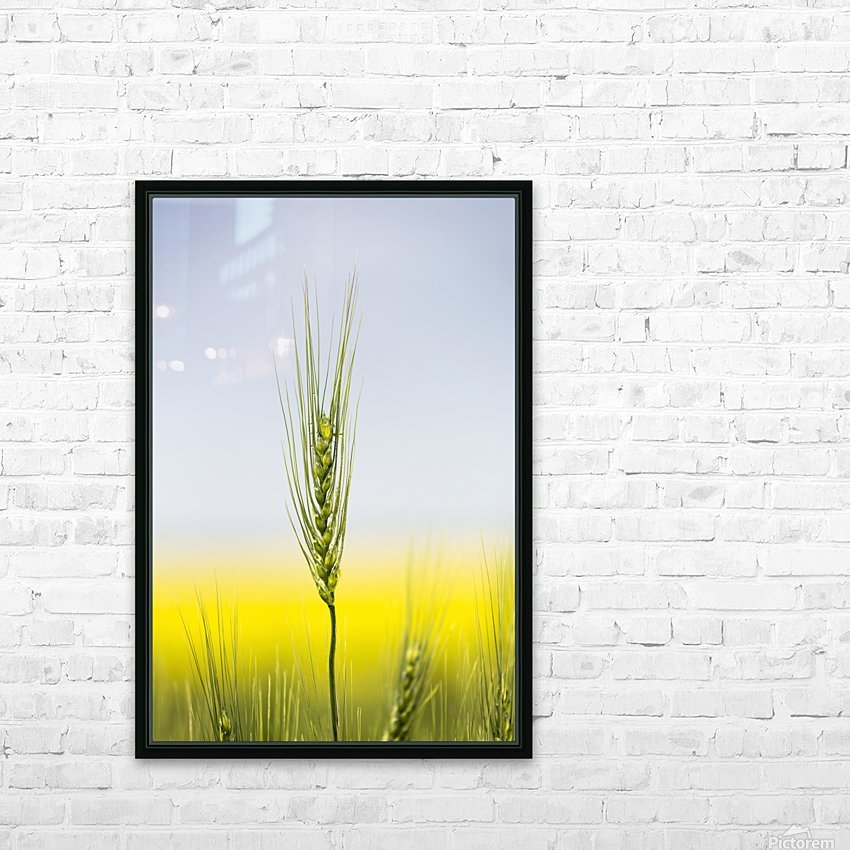 Close up of a green wheat head with the yellow colour of a flowering canola field in the background and blue sky; Acme, Alberta, Canada HD Sublimation Metal print with Decorating Float Frame (BOX)