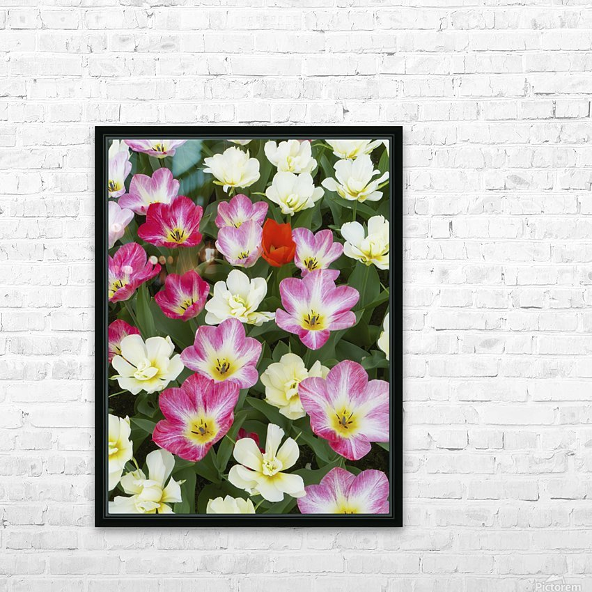 Flowers at Keukenhof Gardens; Amsterdam, Holland HD Sublimation Metal print with Decorating Float Frame (BOX)