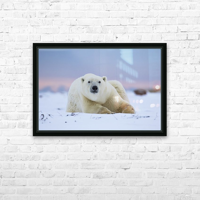 Polar bear (ursus maritimus) along the Hudson Bay coastline waiting for the bay to freeze over; Churchill, Manitoba, Canada HD Sublimation Metal print with Decorating Float Frame (BOX)