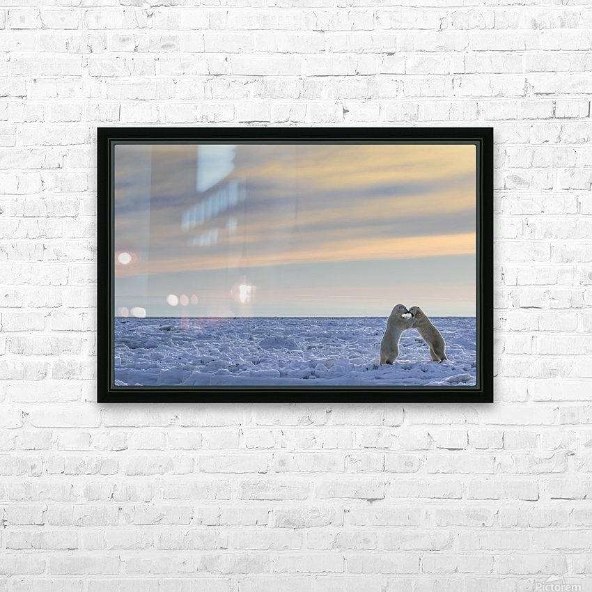 Polar bears (ursus maritimus) sparring on the coast of Hudson Bay; Manitoba, Canada HD Sublimation Metal print with Decorating Float Frame (BOX)