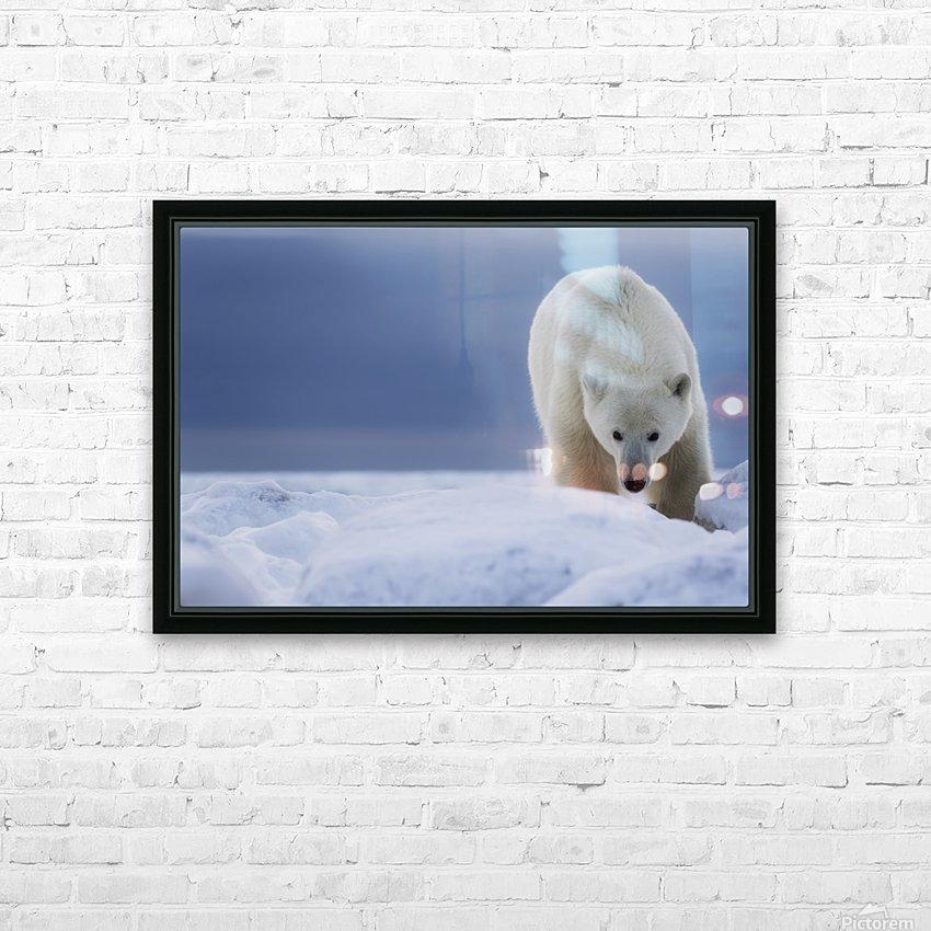 Polar bear (Ursus Maritimus); Churchill, Manitoba, Canada HD Sublimation Metal print with Decorating Float Frame (BOX)