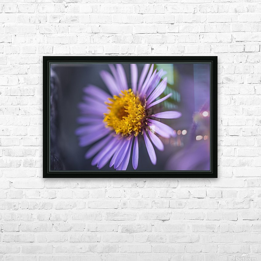 Siberian Aster along the Marsh Fork of the Canning River in the Arctic National Wildlife Refuge, Summer, Alaska   HD Sublimation Metal print with Decorating Float Frame (BOX)