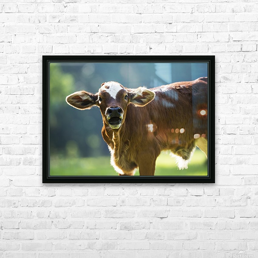 Herford calf bawls for it's mother; Gaitor, Florida, United States of America HD Sublimation Metal print with Decorating Float Frame (BOX)
