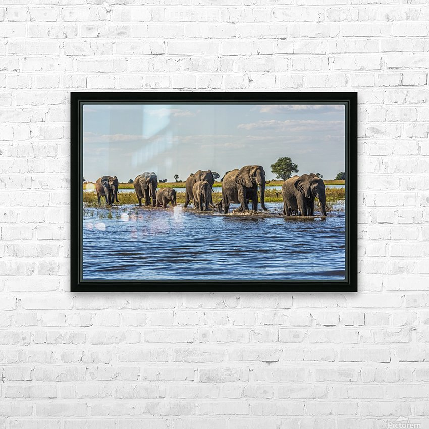 Line of elephants (Loxodonta africana) crossing river in sunshine; Botswana HD Sublimation Metal print with Decorating Float Frame (BOX)
