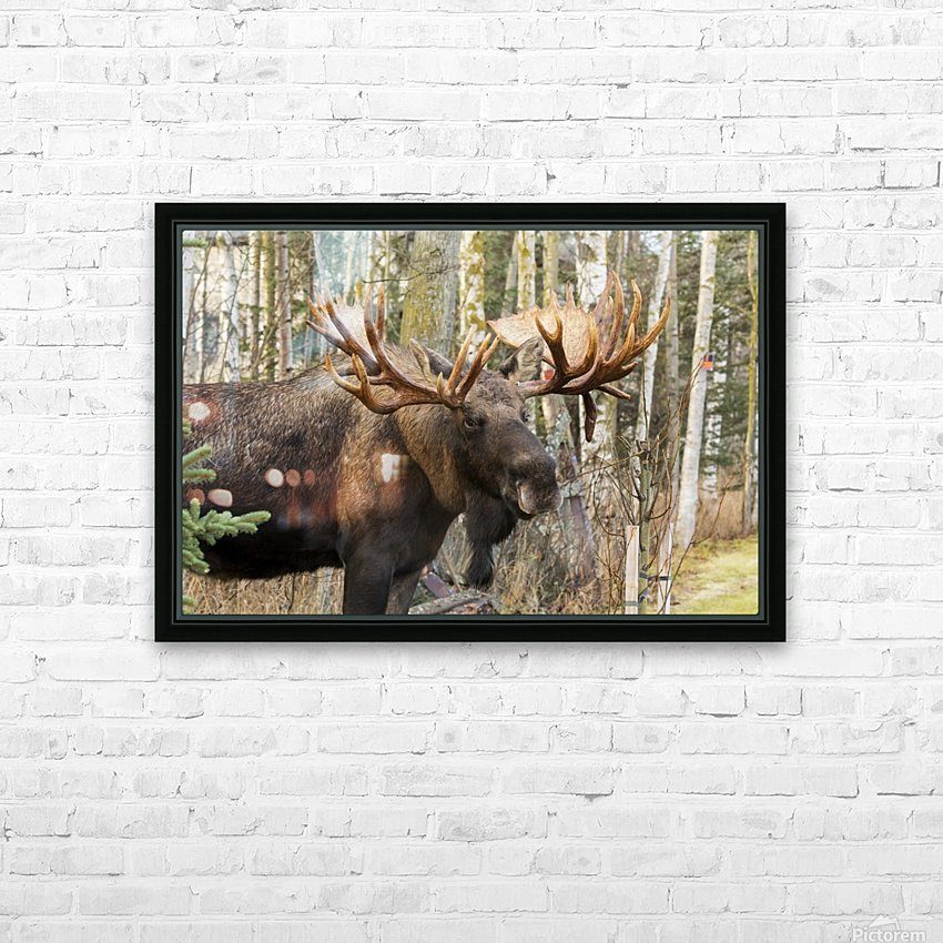 Bull moose (alces alces), rutting season; Alaska, United States of America HD Sublimation Metal print with Decorating Float Frame (BOX)