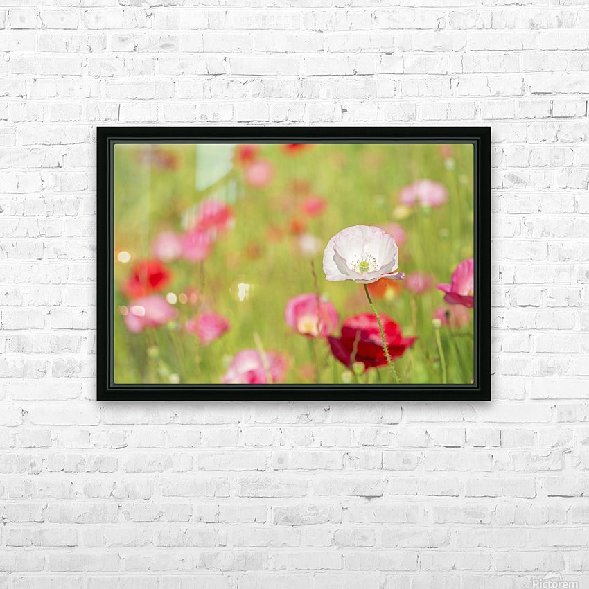Poppies in a meadow; Burnaby, British Columbia, Canada HD Sublimation Metal print with Decorating Float Frame (BOX)