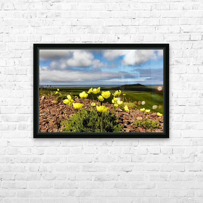 Arctic poppy (Papaver radicatum) grows from the volcanic soil of St. Paul Island in the Pribilofs in Southwest Alaska; St. Paul Island, Pribilof Islands, Alaska, United States of America HD Sublimation Metal print with Decorating Float Frame (BOX)