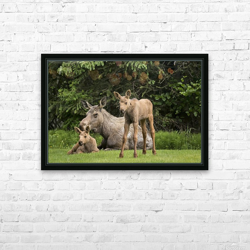A cow moose (alces alces) relaxes on a lawn with her twin calves; Anchorage, Alaska, United States of America HD Sublimation Metal print with Decorating Float Frame (BOX)