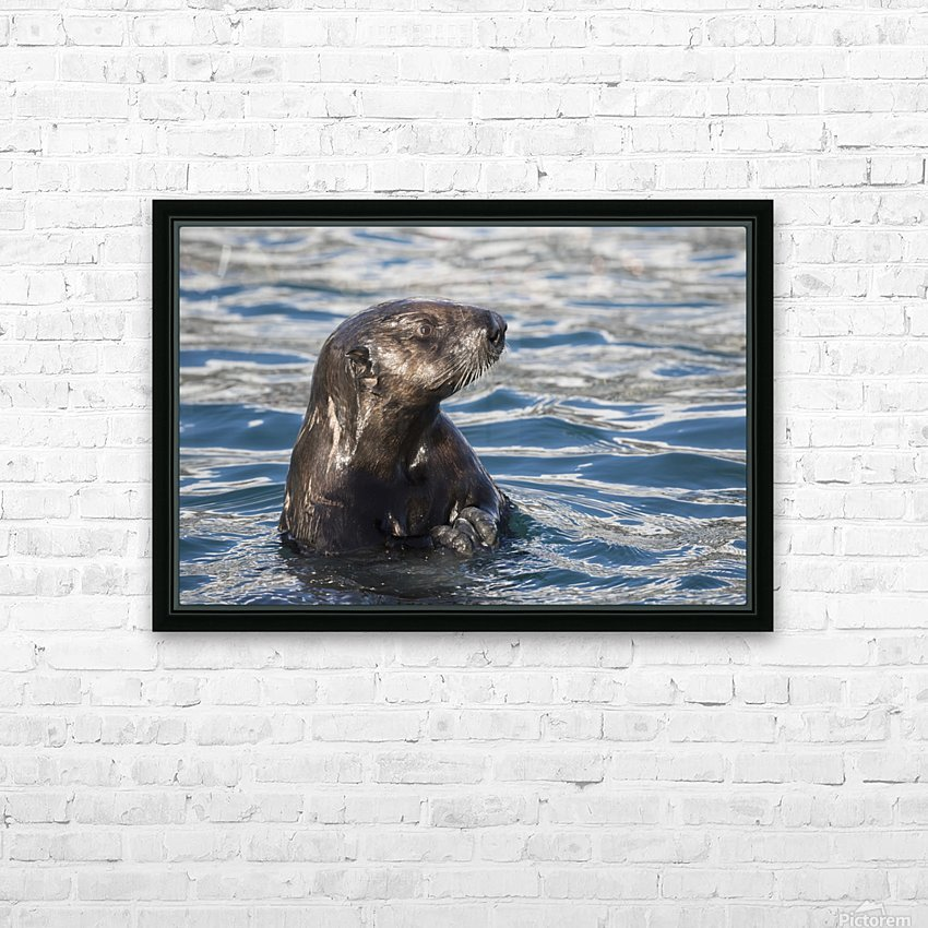 Sea Otter (Enhydra lutris) swims in Resurrection Bay near Seward small boat harbour in south-central Alaska; Seward, Alaska, United States of America HD Sublimation Metal print with Decorating Float Frame (BOX)