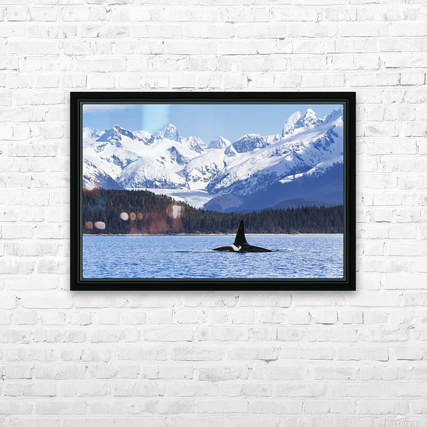 An Orca Whale (Killer Whale) (Orcinus orca), male as indicated by the height of it's dorsal fin, surfaces in Lynn Canal, Herbert Glacier, Inside Passage; Alaska, United States of America HD Sublimation Metal print with Decorating Float Frame (BOX)